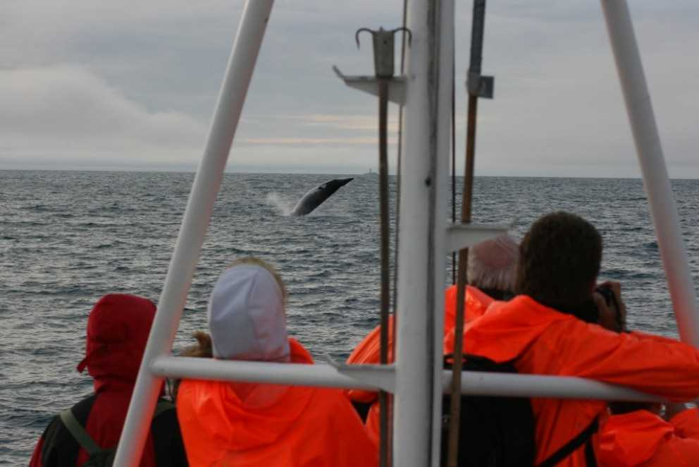 whale watching boat tour in dalvik