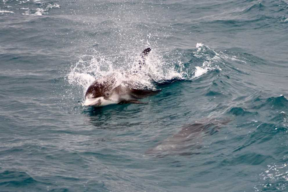 Dolphins swimming in the ocean seen on a tour