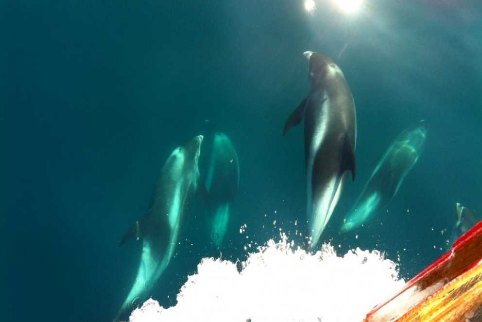 Dolphins seen in the clear water on a tour