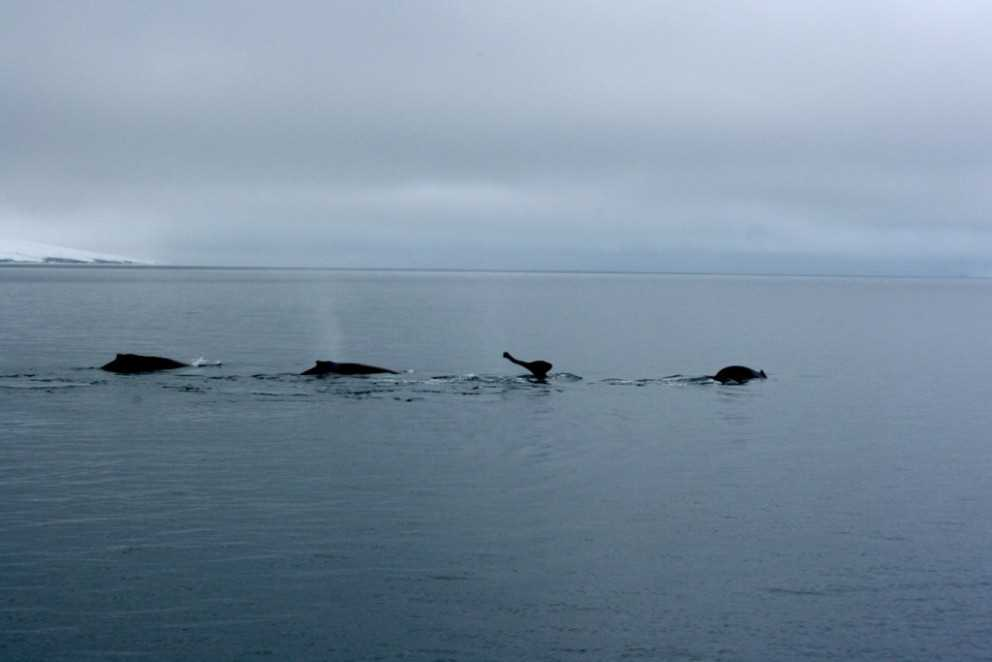 plenty of whales in iceland