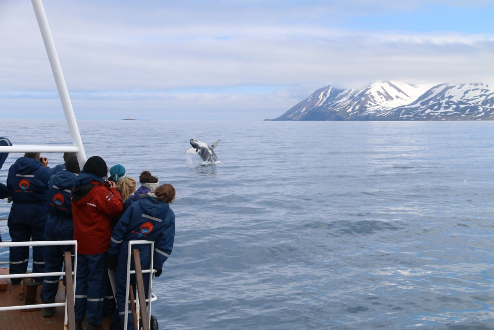 Breaching humpback whale | Arctic Sea Tours