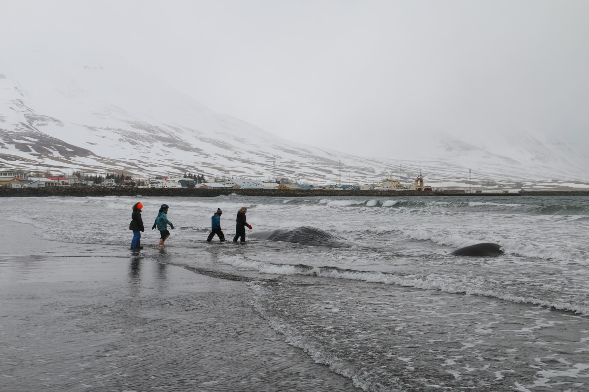 Sperm whale washes up very close to Dalvik | Arctic Sea Tours