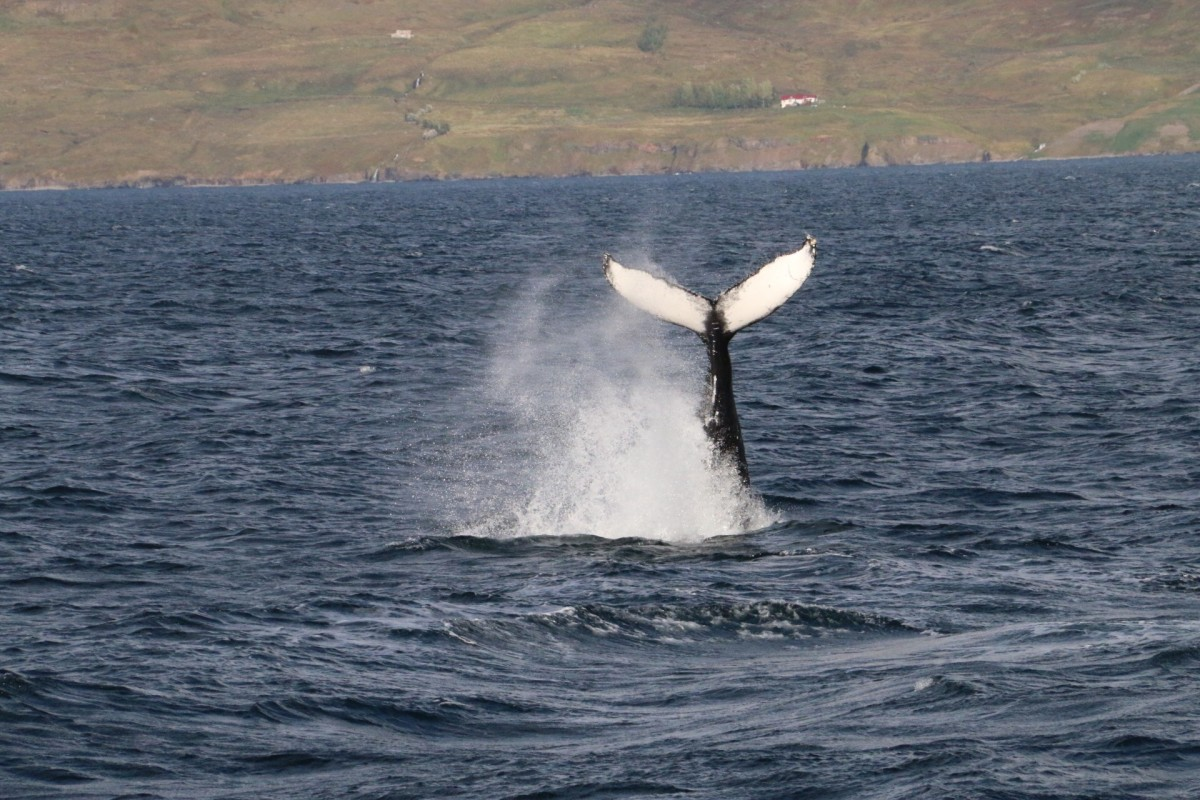 Amazing whale watching 2015 | Arctic Sea Tours