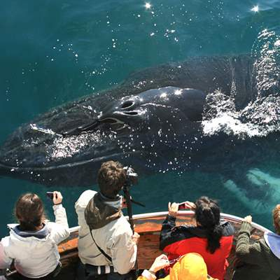 humpback whale real close in iceland