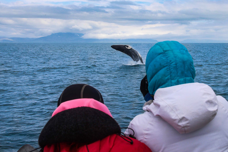 Whale Watching Tour from Reykjavik | Arctic Sea Tours