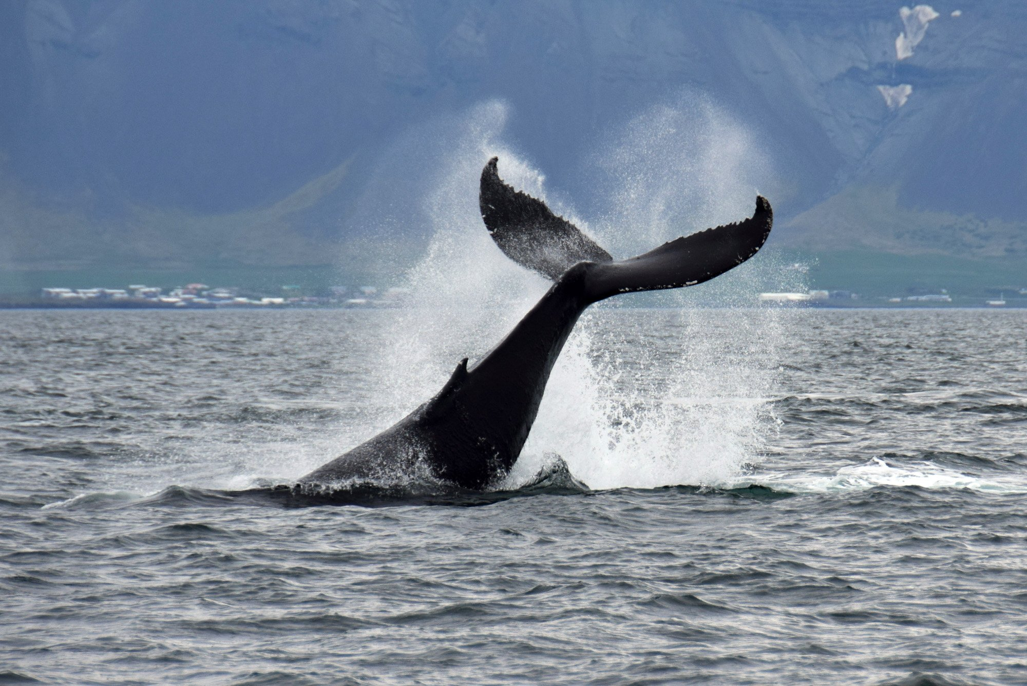 Still amazing tours, seeing humpback whales in all tours in sept | Arctic Sea To