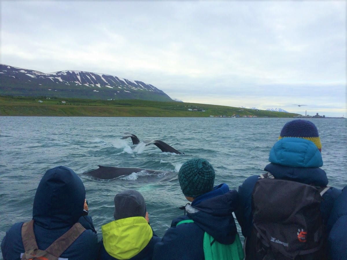 At least three humpback whales in all tours | Arctic Sea Tours