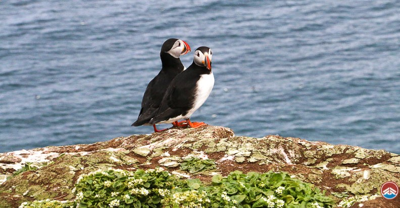 Grimsey Puffin Island | Boat Tickets | Arctic Sea Tours