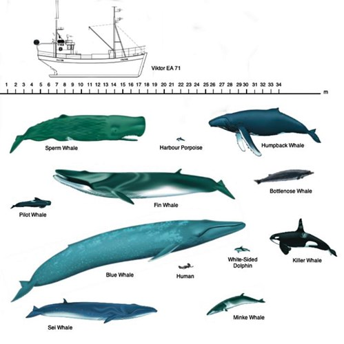 41d91de29cb7 Types of Whales Around Iceland