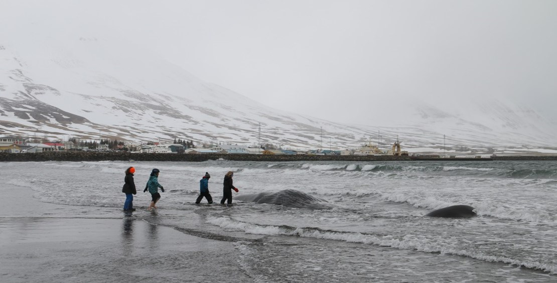 Sperm whale washes up very close to Dalvik