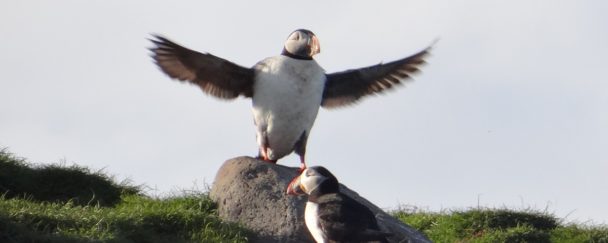 Puffin Watching Tour in Snaefellsnes | Arctic Sea Tours