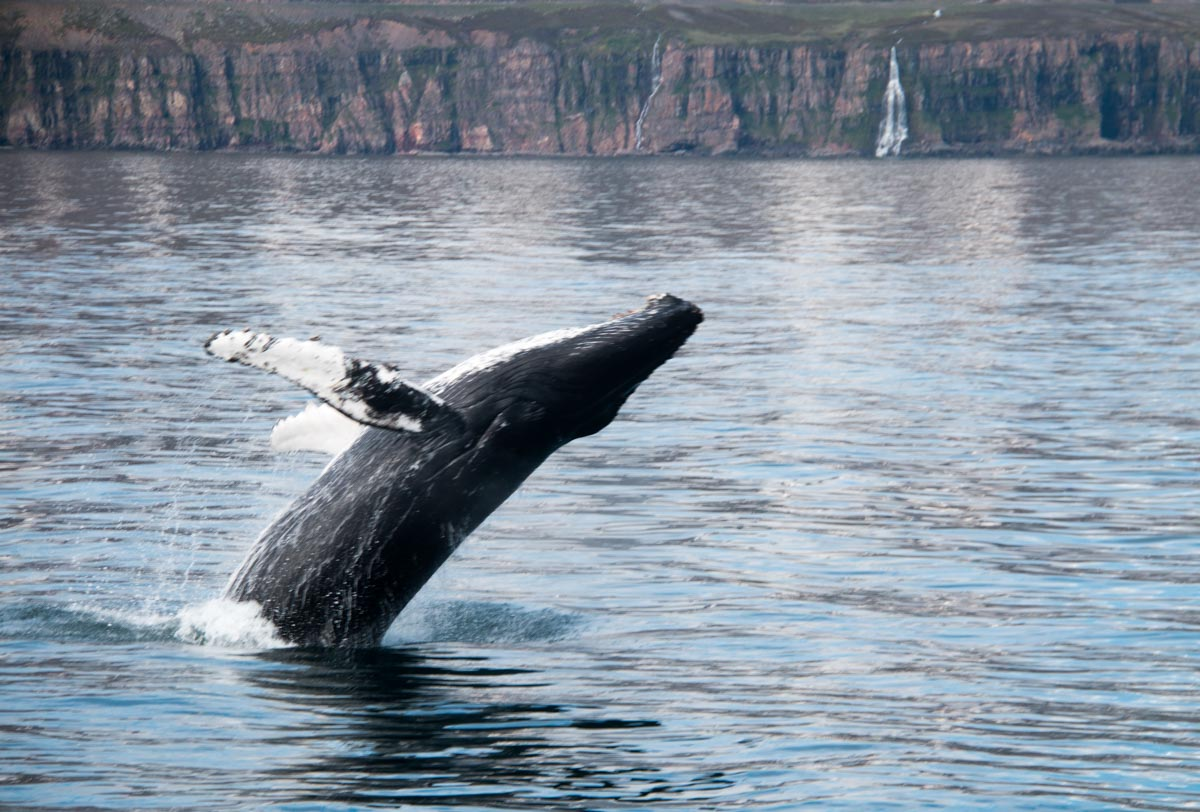 Whale Watching Tours in Iceland | Arctic Sea Tours