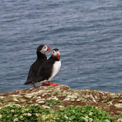 Iceland Puffin Tours