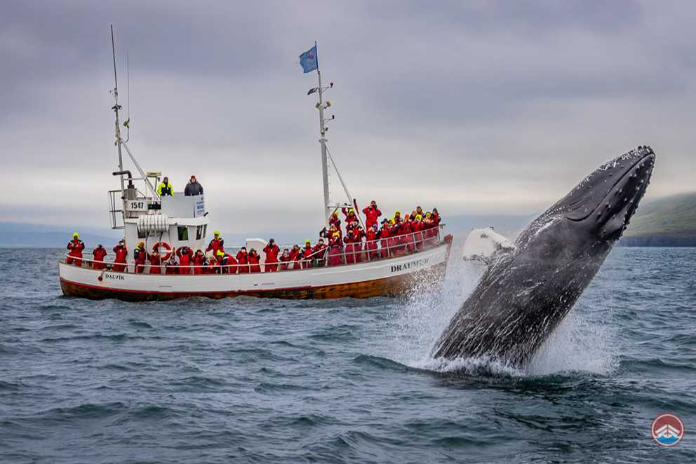 Breaching Whale by the boat in Dalvik, Iceland