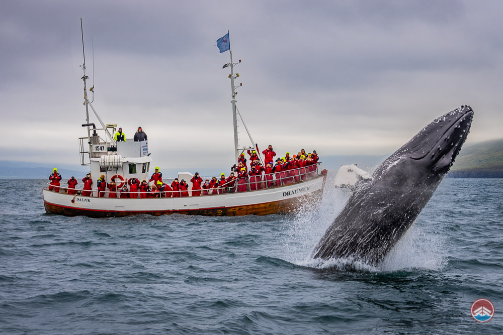 Amazing Whale Watching August 4th 2018 | Arctic Sea Tours