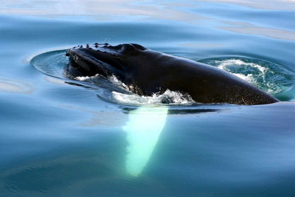 whale watching tours in iceland