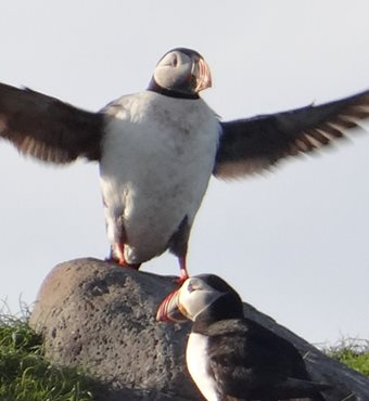 Puffin Watching Tour in Snaefellsnes