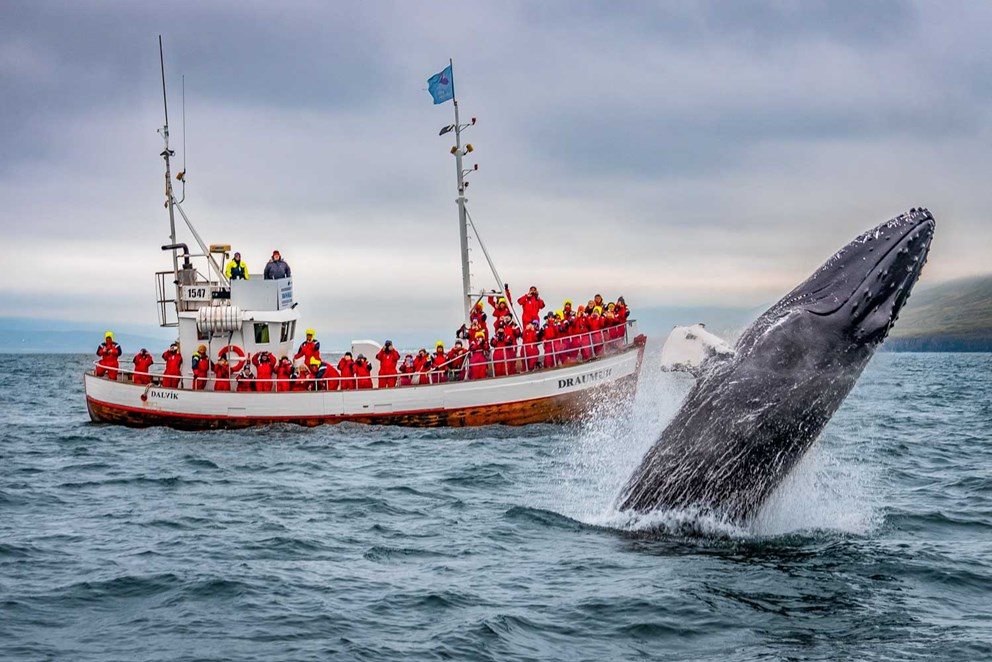 Breaching whale in August 2018