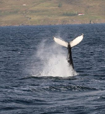 Arctic Whale Watching