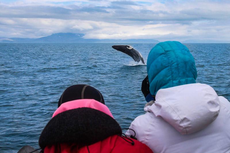 레이캬비크(Reykjavik) 출발 고래 관람 투어   고래 관람 아이슬란드   북극해 투어