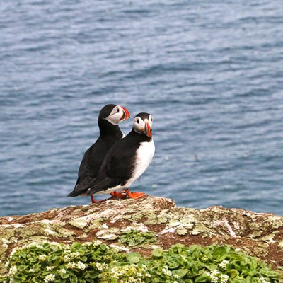 puffins on Grimsey Iceland