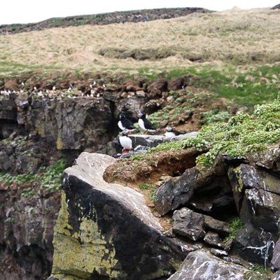 puffins in north iceland