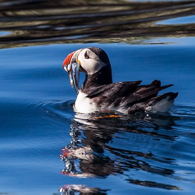 Puffins on the water all around the boat