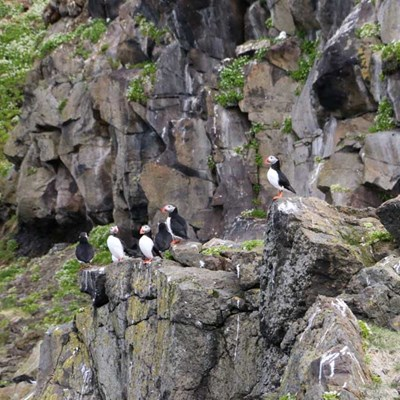 Puffins on a tour from Grundarfjordur