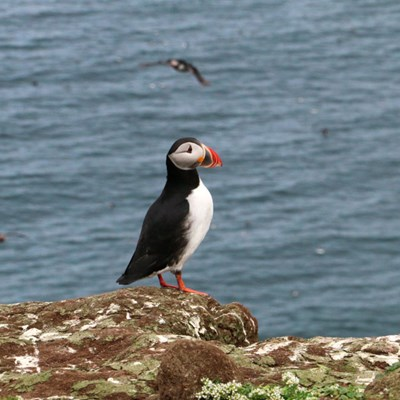 Puffin watching in West Iceland