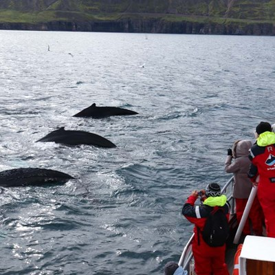 Three whales seen on a whale watching tour in Iceland