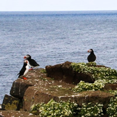Three puffins on a tour in North Iceland