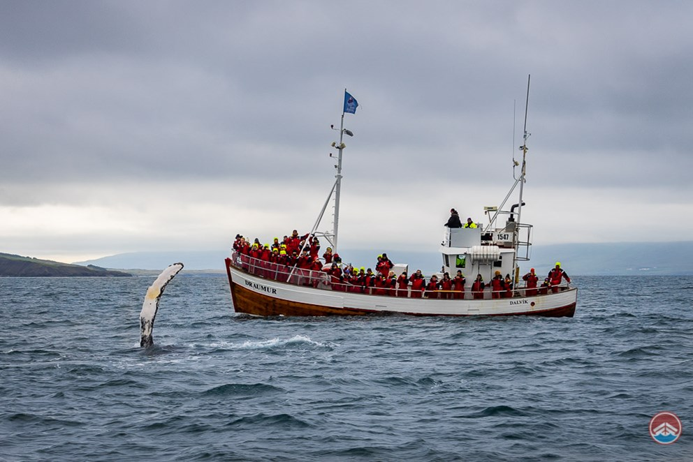 Whale watching from Dalvik North Iceland