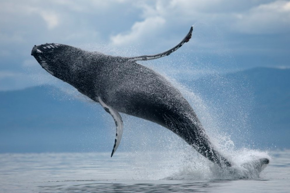 whale majestically jumping out of the ocean